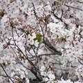 Photos: 桜絡みで