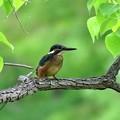 カワセミの幼鳥