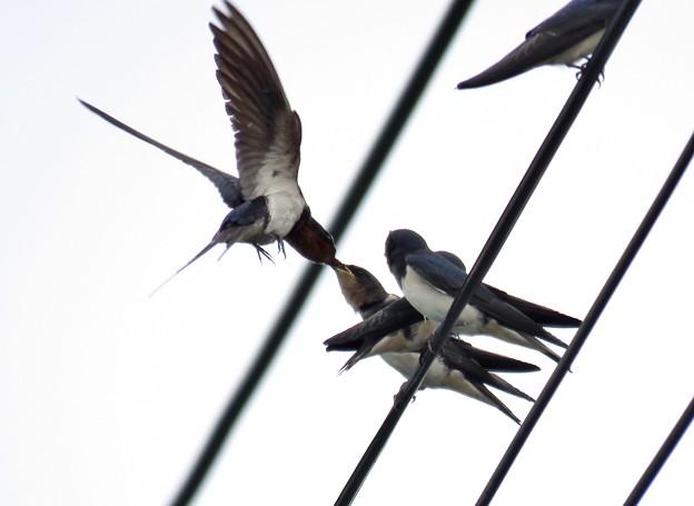 Photos: 電線で餌渡し