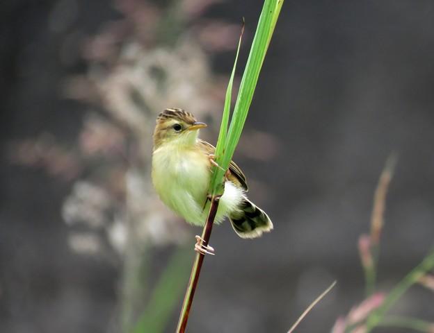 セッカの幼鳥