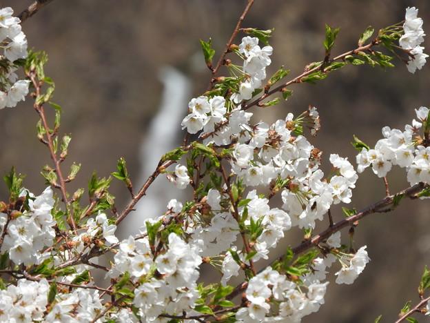 御母衣の桜2
