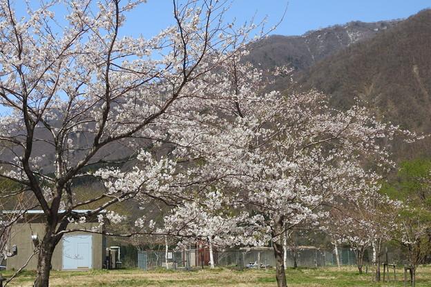 御母衣の桜3