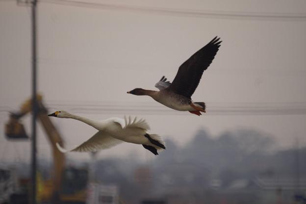 ヒシクイと白鳥