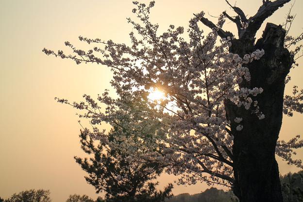 夕映え桜 05