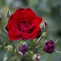 初夏の薔薇~ド 01