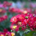 初夏の薔薇~ド 04