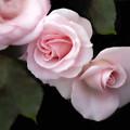 Photos: 初夏の薔薇~ド 06