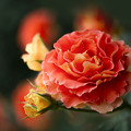 Photos: 初夏の薔薇~ド 07