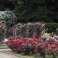 初夏の薔薇~ド 11