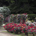 Photos: 初夏の薔薇~ド 11