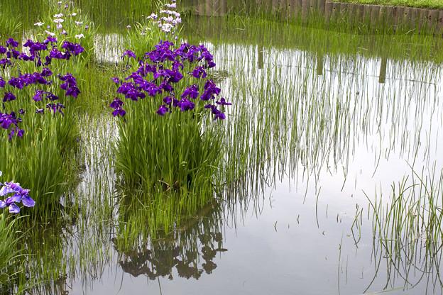 Photos: 梅雨の合間が菖蒲どき 01