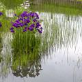 梅雨の合間が菖蒲どき 01