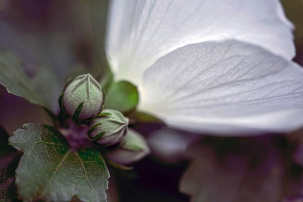 ムクゲ(白花) 03