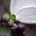 ムクゲ(白花) 02