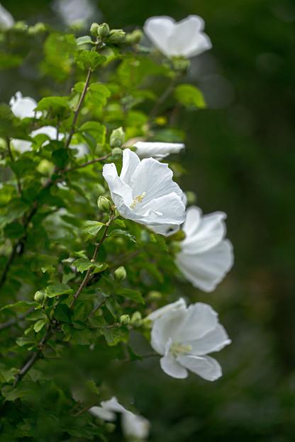 ムクゲ(白花) 01