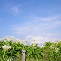 写真: 角島浜木綿_1