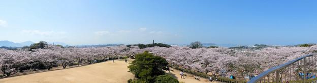 戦場ヶ原(下関)の桜