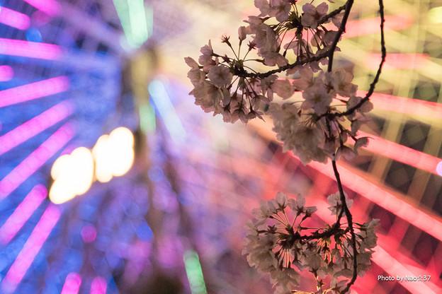 コスモクロックと桜