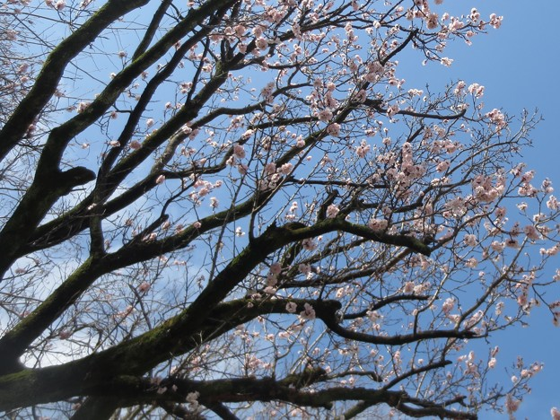 桜@植物180322