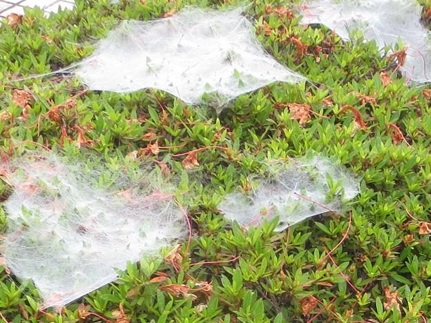 蜘蛛の巣@ふんだん180622