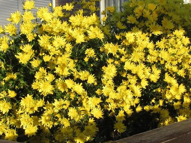 黄色い花@秋晴れ201021