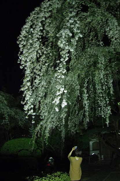 写真: 大きな桜の木下で