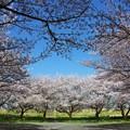 写真: 桜に囲まれて