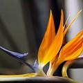 写真: ゴッドフェニックス(火の鳥)