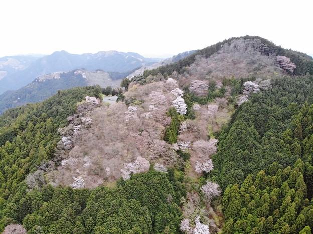 山桜を眺めて