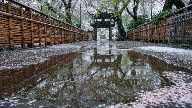 Photos: 雪桜