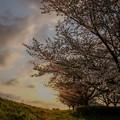 Photos: 土手の桜