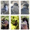 Photos: 巣作り(オオタカ&ミソサザイ)