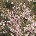 香嵐渓・春:トウカイザクラ(バラ科)