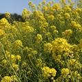 伊良湖菜の花ガーデン3