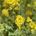 伊良湖菜の花ガーデン4