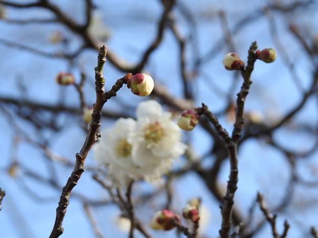 Photos: 白梅3