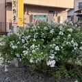 Photos: ノイバラ