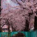 写真: 桜1@戸田