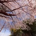 Photos: 北根の久伊豆神社の桜@鴻巣