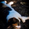 寝転がる猫@八丁湖