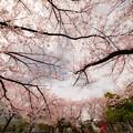 Photos: 令和二年の桜1@伊奈