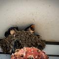 ツバメの巣@熊谷