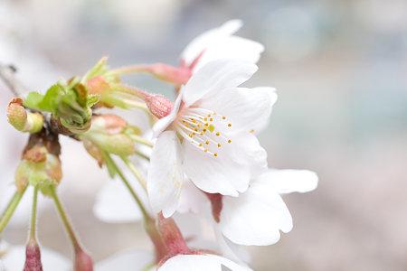 桜の花 その1
