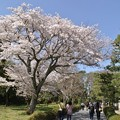 写真: 二条城の桜