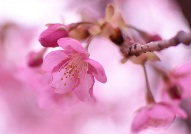 写真: カワヅザクラ