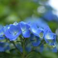 写真: 紫陽花 2