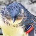 写真: フェアリーペンギン