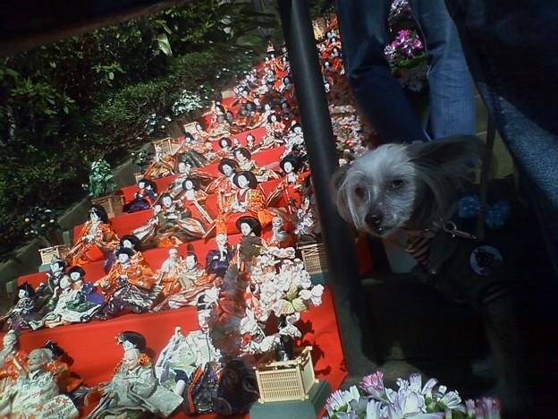 座間神社の雛人形とワンコ
