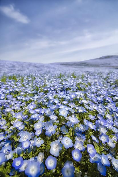 ネモフィラの咲く丘