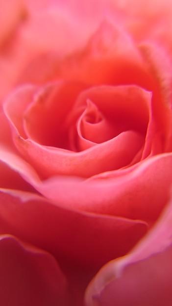 薔薇物語~その1